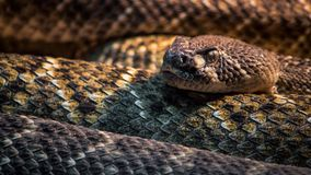 Rattlesnake closeup Royalty Free Stock Photos