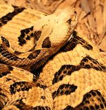 Rattlesnake Coiled Royalty Free Stock Images