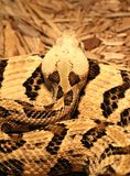 Rattlesnake Coiled Stock Photography