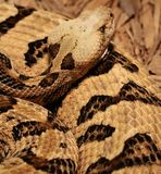 Rattlesnake Coiled Stock Photos