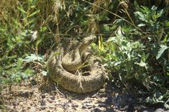 Rattlesnake coiled, NM Royalty Free Stock Images