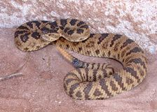 Rattlesnake coiled, rattling and ready to strike Royalty Free Stock Photo