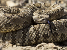Rattlesnake coiled to strike Royalty Free Stock Photo