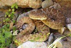 Rattlesnake di Diamondback occidentale che si nasconde nelle rocce Immagini Stock
