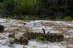 Rattlesnake di Diamondback orientale Fotografia Stock Libera da Diritti