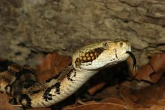 Rattlesnake di legname Fotografia Stock Libera da Diritti
