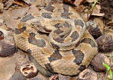 Rattlesnake di legname, horridus del Crotalus Fotografie Stock Libere da Diritti