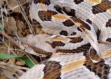 Rattlesnake di legname, horridus del Crotalus Immagini Stock Libere da Diritti