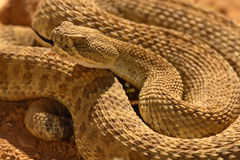 Rattlesnake Flicking Out Tongue Stock Images