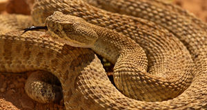 Rattlesnake Flicking Out Tongue. A Rattlesnake disturbed and flicking out its tongue Stock Photography