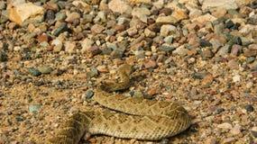 Western Diamondback Rattlesnake crawling away. Rattlesnake found while hiking Stock Image