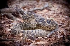 Rattlesnake in the leaves Royalty Free Stock Images
