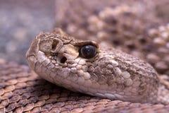 Rattlesnake Royalty Free Stock Photos