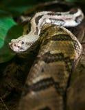Rattlesnake looks into camera Royalty Free Stock Photo