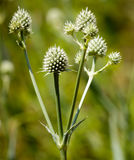 Rattlesnake Master Stock Photo