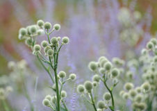 Rattlesnake Master plants Stock Photography