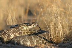 Rattlesnake pacifico del sud fotografia stock