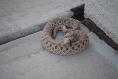 Rattlesnake. Patio snake coiled to strike Stock Photography