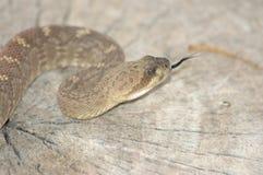 Rattlesnake preparing to strike. Arizona royalty free stock photo