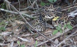 Rattlesnake pronto a direzione fotografie stock