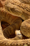 Rattlesnake And Rattle Stock Image