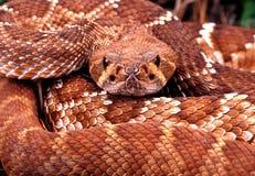 Rattlesnake. Royalty Free Stock Images