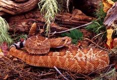 Rattlesnake. Red Diamond Rattlesnake (Crotalus ruber ruber Stock Image