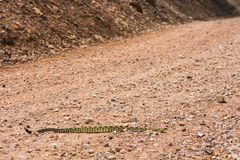 Rattlesnake on road Royalty Free Stock Photos
