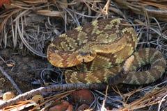 Rattlesnake, Sedona AZ Стоковые Фото