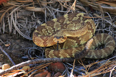 Rattlesnake, Sedona AZ Stock Photos