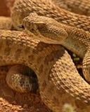 Rattlesnake Showing Fork Of Tongue Stock Photos