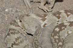 Rattlesnake sitting quietly Royalty Free Stock Image