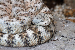 Rattlesnake. Speckled Rattle Snake Coiled On Sand Background Stock Images