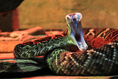 Rattlesnake Strike Royalty Free Stock Photos