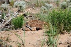 Rattlesnake Tail Display Stock Image