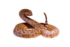 Rattlesnake in a threatening posture Royalty Free Stock Photo