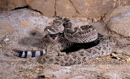 Rattlesnake. Royalty Free Stock Image