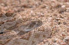 Rattlesnakes Of Arizona Stock Images