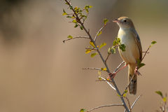 Rattling Cisticola (Cisticola chiniana) Royalty Free Stock Photos