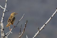 Rattling Cisticola (Cisticola chiniana) Royalty Free Stock Photo