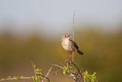 Rattling Cisticola singing Royalty Free Stock Photo