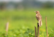 Rattling Cisticola Royalty Free Stock Photo