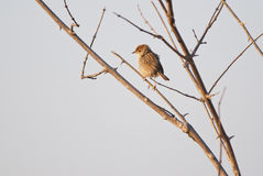 Rattling Cisticola Royalty Free Stock Image