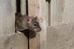 Ratto. Immagine Stock Libera da Diritti