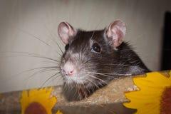 ratto Fotografia Stock