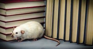 ratto Immagine Stock