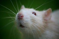 Ratto fotografie stock