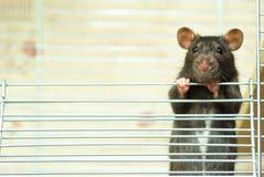 Ratto Fotografie Stock Libere da Diritti