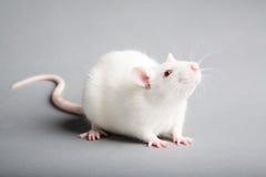 Ratto bianco Fotografia Stock Libera da Diritti