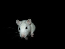 Ratto bianco Immagini Stock